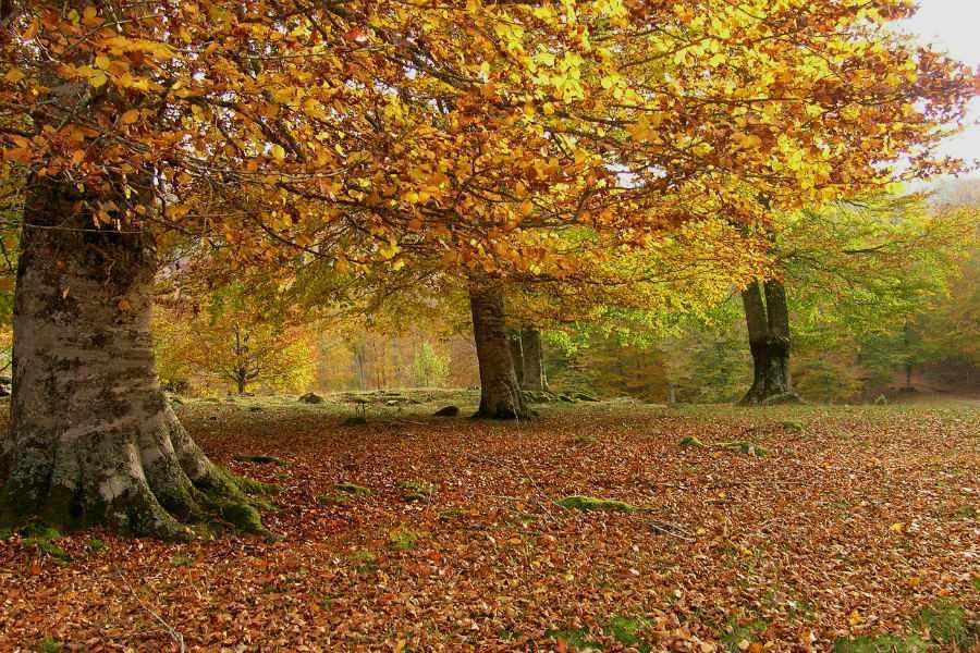 Hayedos de Remendia en otoño :: Jaurrieta, Valle de Salazar, Pirineo de Navarra